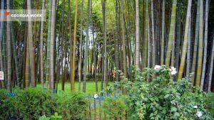 Бамбуковая роща на набережной Батуми, набережная Батуми, Грузия
