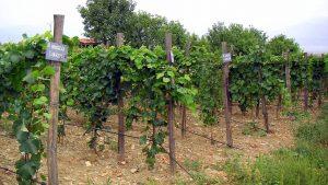 Виноградники Грузии, Грузинское вино, Грузия