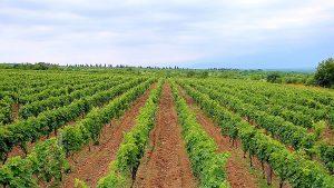 Виноградные ряды, Грузинское вино, Грузия