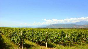 Кусты винограда, Грузинское вино, Грузия