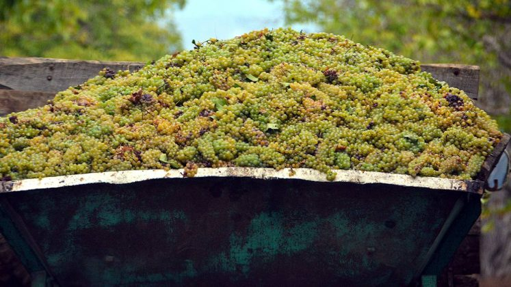 Спелый собранный виноград, Грузинское вино, Грузия