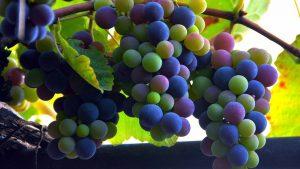 Созревание винограда, Грузинское вино, Грузия
