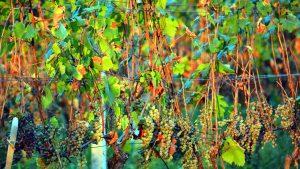 Произростание винограда, Грузинское вино, Грузия