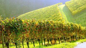 Виноградники в Алазанской долине, Грузинское вино, Грузия
