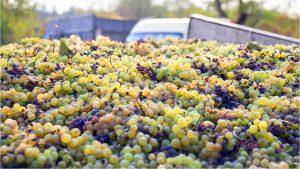 Спелый виноград для изготовления вина, Грузинское вино, Грузия