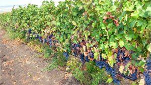 Виноградники темных сортов, Грузинское вино, Грузия