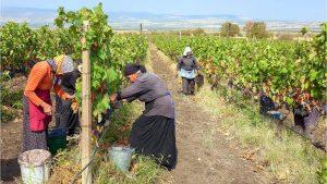 Ручной сбор урожая винограда, Грузинское вино, Грузия
