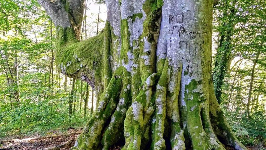 Огромный многолетник бук, Национальный парк Мтирала, Батуми, Грузия